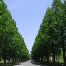 メタセコイア並木(出典:高島市観光情報HP)